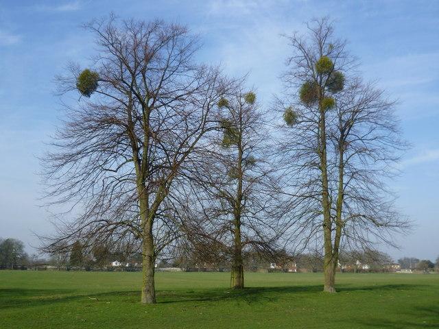 Mistletoe in Home Park