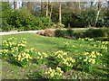 TQ1469 : Daffodils in the Waterhouse Woodland Garden, Bushy Park by Marathon