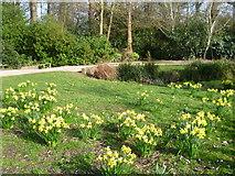 TQ1469 : Daffodils in the Waterhouse Woodland Garden, Bushy Park by Marathon