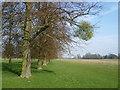 TQ1668 : Mistletoe on a tree in Home Park by Marathon