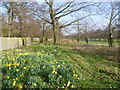 TQ1469 : Daffodils in Bushy Park by Marathon