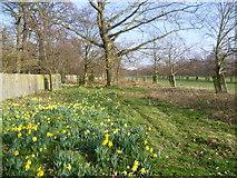 TQ1469 : Daffodils in Bushy Park by Marathon