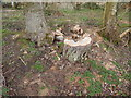 TL9543 : Tree stump in Langley Wood, Round Maple by Hamish Griffin