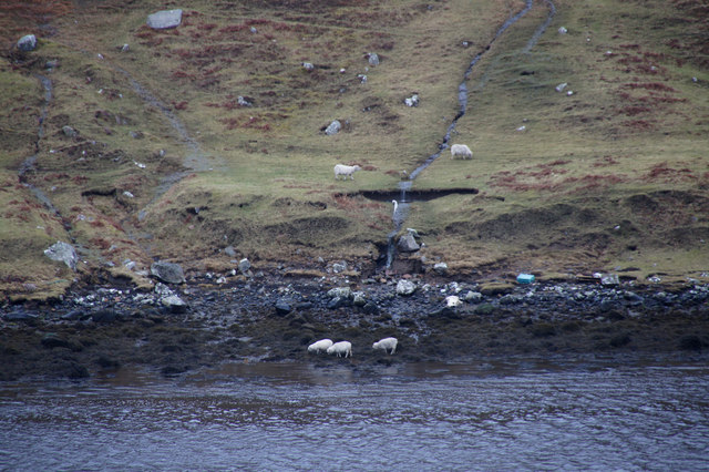 Sheep feeding on the shore at Gunnister Voe, Northmavine