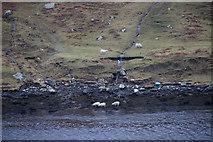 HU3174 : Sheep feeding on the shore at Gunnister Voe, Northmavine by Mike Pennington