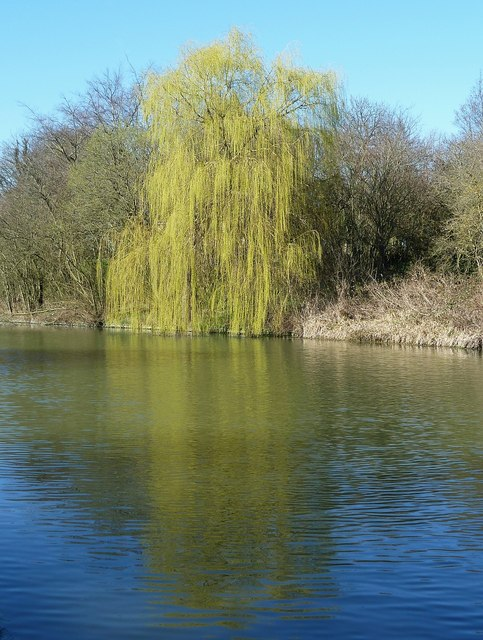 Weeping Willow beside the Grand Union