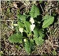 SP9313 : Primrose (Primula vulgaris) beside the path by Rob Farrow