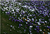 NJ0459 : Spring and the ephemeral crocus in Forres by Des Colhoun