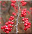 NJ3165 : Berried Branch by Anne Burgess