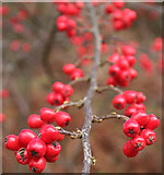 NJ3165 : Berried Branch by Anne Burgess