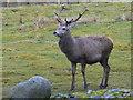 NH5211 : A fine stag near Garrogie Lodge by sylvia duckworth