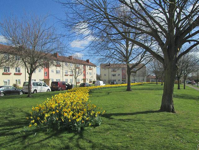 Daffodils in Fanshawe Road