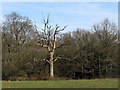 TL4201 : Dead tree near Upshire by Stephen Craven