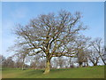 TM1645 : Beech tree in Christchurch Park by Hamish Griffin