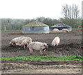TM3188 : Free range pigs and their round pig arks by Evelyn Simak