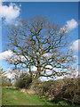 TM2785 : Old oak tree in field boundary hedge by Evelyn Simak
