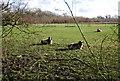 TM1650 : Jacob Sheep by N Chadwick