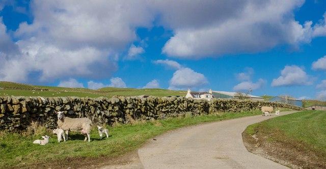Spring Lambs at Gleniron