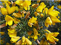 TA0015 : Gorse by David Wright