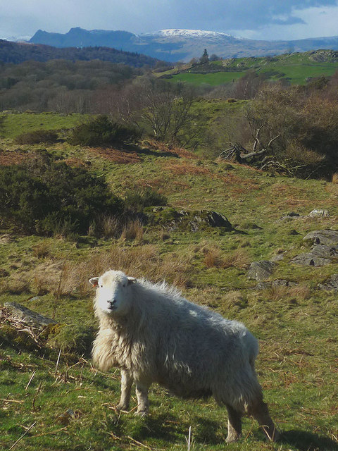 A Herdwick ewe and the Langdale Pikes