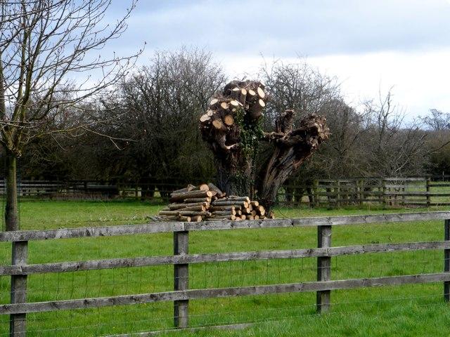 Pollarded oak tree, Longwick