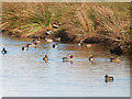 NY0565 : Wigeon on Back Pond, Caerlaverock WWT by Oliver Dixon