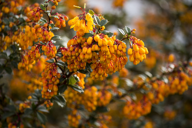 Berberis darwinii Flowers