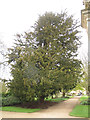 SP5206 : Oxford Botanic Garden: yew tree by Stephen Craven