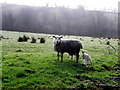 H1471 : Sheep, Tullylack by Kenneth  Allen
