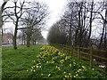 NZ2465 : Tyneside Daffodils by David Clark