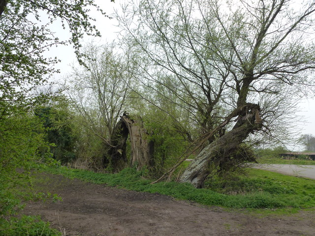 Bent and busted willows near Jack of Clubs Farm, Lode
