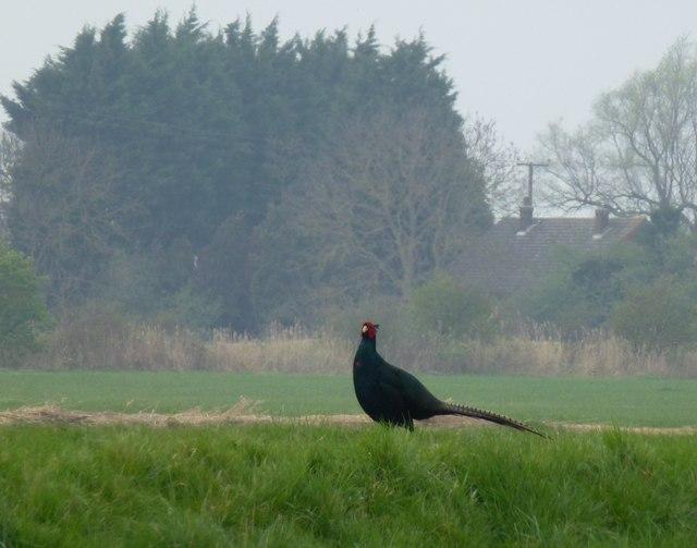 A black pheasant in the Cambridgeshire Fens