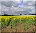 TM1490 : Flowering oilseed rape by Evelyn Simak