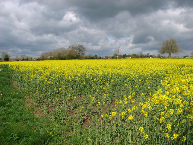 Oilseed rape crop by Forncett End