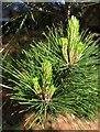 SX8966 : Conifer, The Willows by Derek Harper