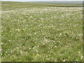 SX5964 : Cotton Grass in Seed by Tony Atkin