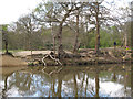 TQ4196 : Tree roots showing at Strawberry Hill Pond by Roger Jones