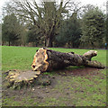 SP3065 : Felled horse chestnut, Victoria Park, Leamington by Robin Stott