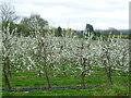 TQ7449 : Apple orchards near Linton by Marathon