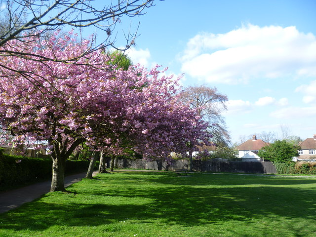 Cherry blossom in Hollydale Recreation Ground