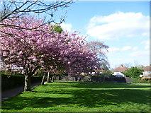 TQ4265 : Cherry blossom in Hollydale Recreation Ground by Marathon