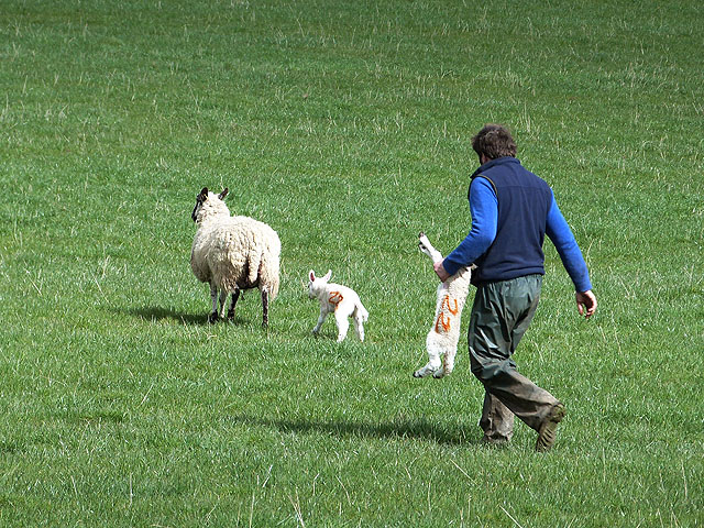 Sorting out the lambs