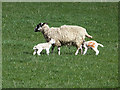 NZ0929 : Lambs reunited by Oliver Dixon