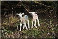 SK1037 : New lambs near Sedsall by Bill Boaden