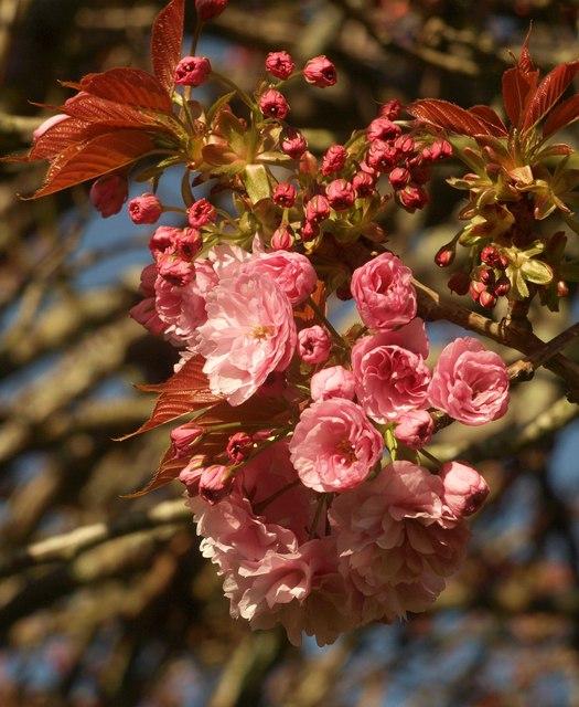 Cherry blossom, Pretty Park