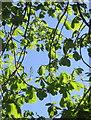 SX9265 : Horse chestnut, Cary Park by Derek Harper