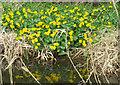 SE9885 : Marsh marigolds beside the River Derwent by Pauline E