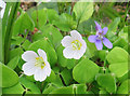SE9886 : Small patch of Wood sorrel by Pauline E