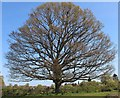 SO7939 : Oak Tree on Castlemorton / Welland boundary by Bob Embleton