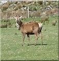 NR6082 : Red Deer at Tarbert, Jura by Rob Farrow